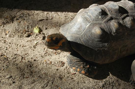 Pineapple Beach Club Antigua: Red Footed Tortoises lived right on property