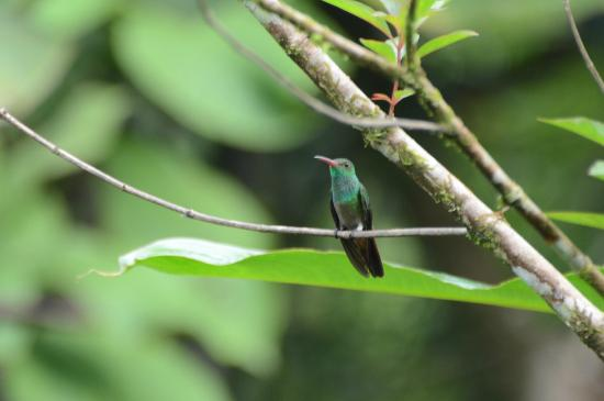 Selva Verde Lodge: Hummingbird