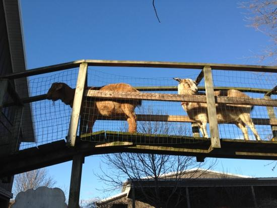Curtis Orchard & Pumpkin Patch: goat crossing!