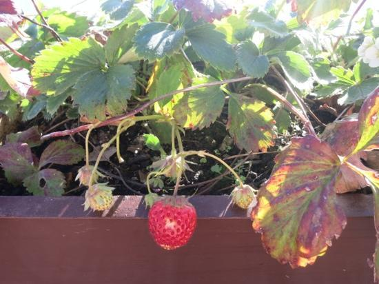 Magnolia Residency: Strawberries growing on the roof top....