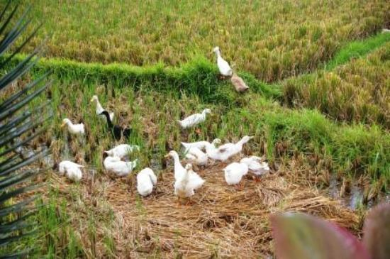 Kunang-Kunang Guesthouse: Ducks in Rice Field.