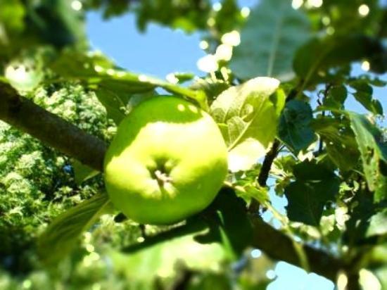 Kerpa : Le pommier du jardin en plein effort :-)