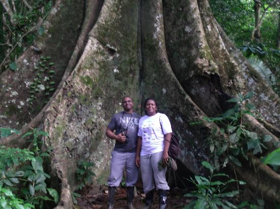 Inkaterra Reserva Amazonica: Ficus Tree