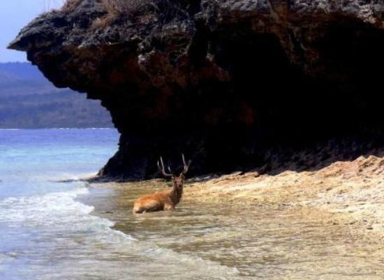 ‪‪Pemuteran‬, إندونيسيا: Deer having a cool off.