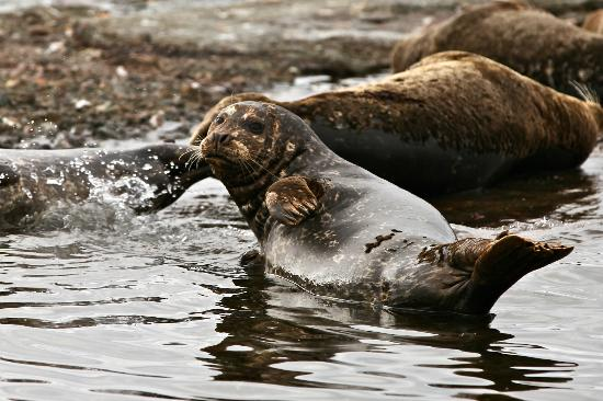 Van Isle Fishing and Marine Adventures: Pacific Harbour Seals 
