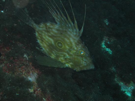 Calypso Diving Centre: John Dory at The Blue Hole