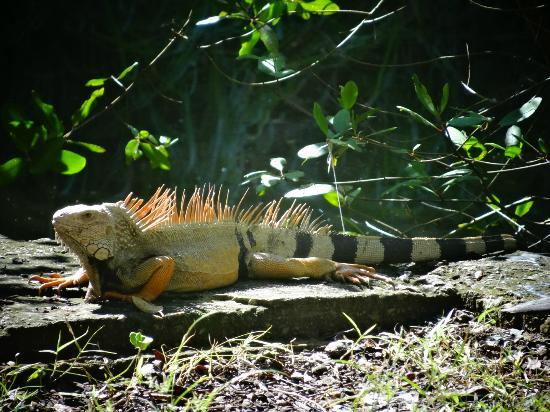 Humacao, Porto Riko: Iguanas in the reserve