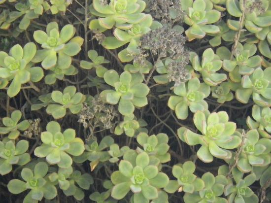 SeaCrest OceanFront Hotel: succulents everywhere