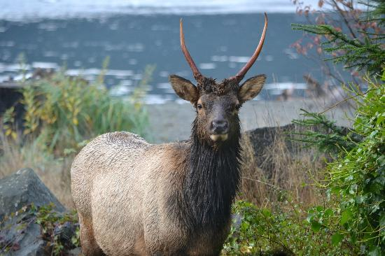 Big Fish Lodge: Roosevelt Elk