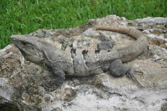 Ocean Maya Royale : Iguana- one of many