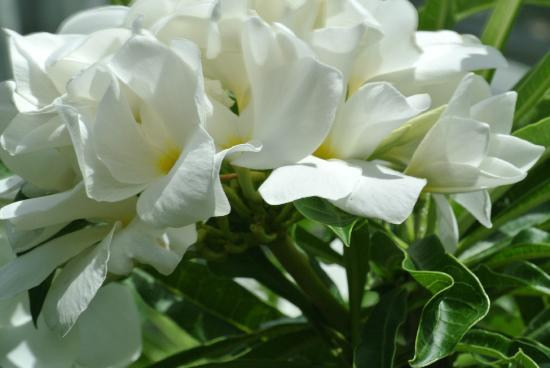 Nevis: flowers