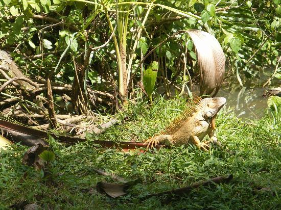 Alby Lodge : Iguana near park