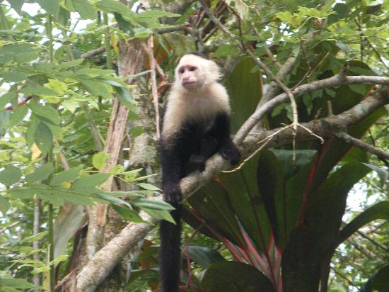 Capuchin at Alby Lodge