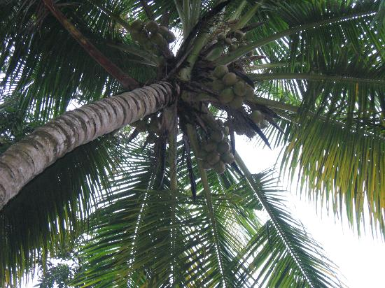 Bamboo Lagoon Backwater Front Resort: coconut at resort :)