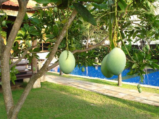 Puri Santai Bali: mango is everywhere