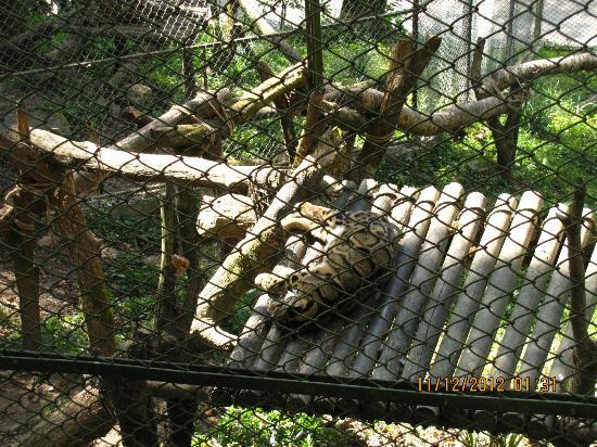 Padmaja Naidu Himalayan Zoological Park: clouded leopard