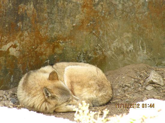 Padmaja Naidu Himalayan Zoological Park: Tibetan wolf