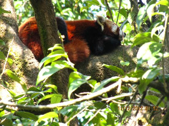 Padmaja Naidu Himalayan Zoological Park: sleeping red panda!