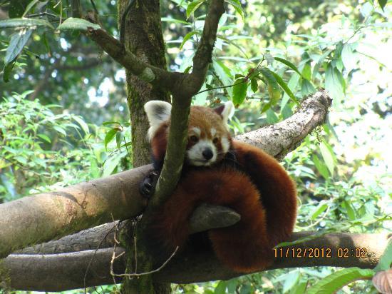 Padmaja Naidu Himalayan Zoological Park: redpanda