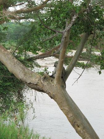 Kurhula Wildlife Lodge: aapjes kijken
