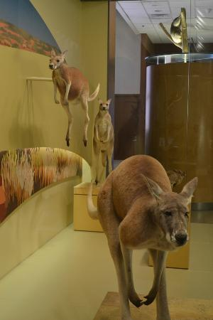 National Museum of Natural History: Kangaroos at the Mammals display