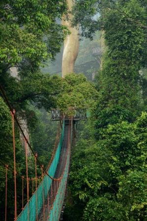 Borneo Rainforest Lodge Canopy walk & Canopy walk - Picture of Borneo Rainforest Lodge Danum Valley ...