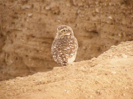 Chiclayo, Perù: Burrowing owl at ruins