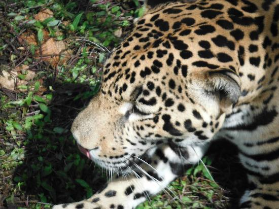 Jose Tours Belize: Junior the jaguar