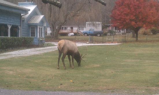Misty Mountain Ranch : elk