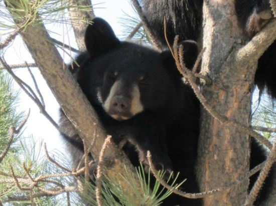 Days Inn Missoula Airport : Bears