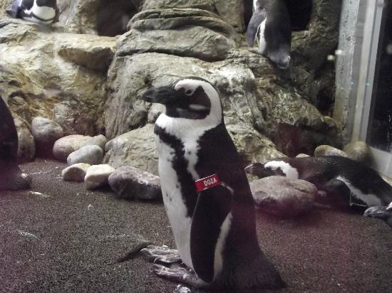 Ripley's Aquarium of the Smokies: More penguins