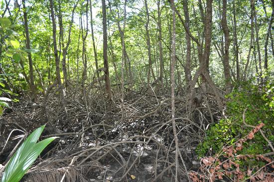 Curu National Wildlife Refuge : Mangroven