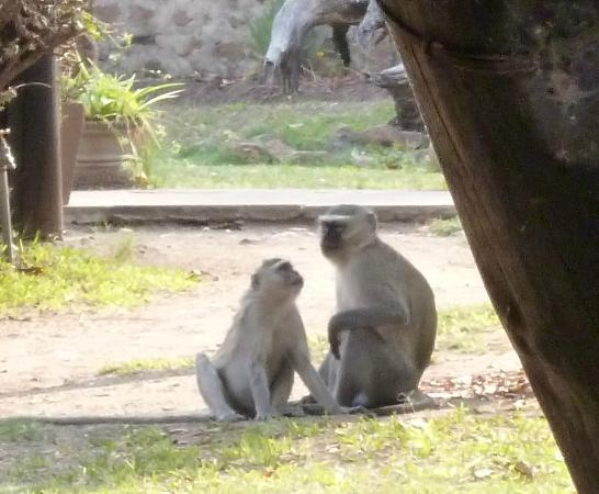 Thorntree River Lodge: Don't leave anything outside, the monkeys are cheeky!