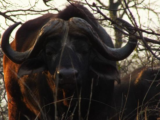 Naledi Bushcamp and Enkoveni Camp: up close and personal with a cape buffalo