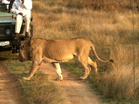 Naledi Bushcamp and Enkoveni Camp: lion crossing!