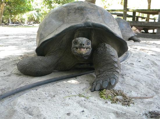Curieuse Island: Tartaruga terrestre
