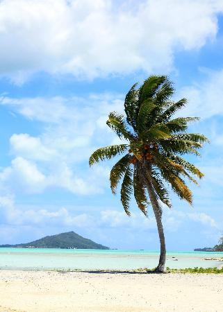 Bora Bora Fishing Paradise Lodge: cocotier sur le motu