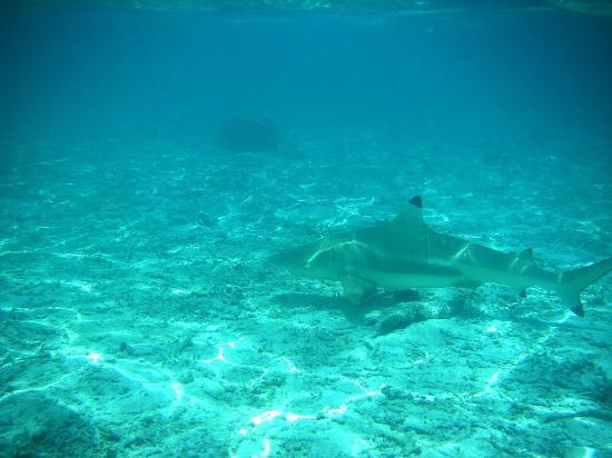 Bora Bora Fishing Paradise Lodge : requin pointe noire