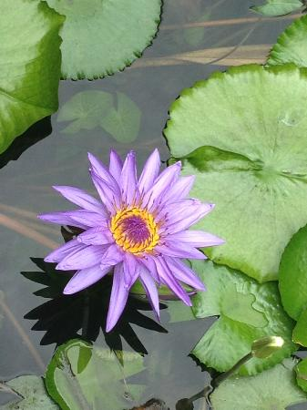 Cable Beach Club Resort & Spa: Beautiful Waterlillies
