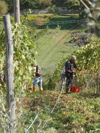 San Casciano in Val di Pesa, Italy: More grape harvest