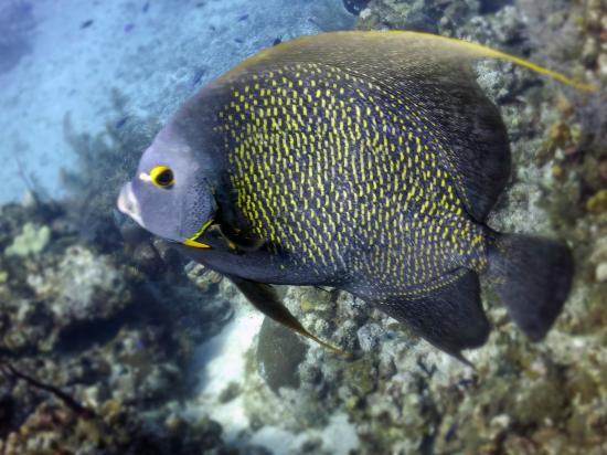 Angelfish Picture Of Living The Dream Divers Seven Mile Beach TripAdvisor