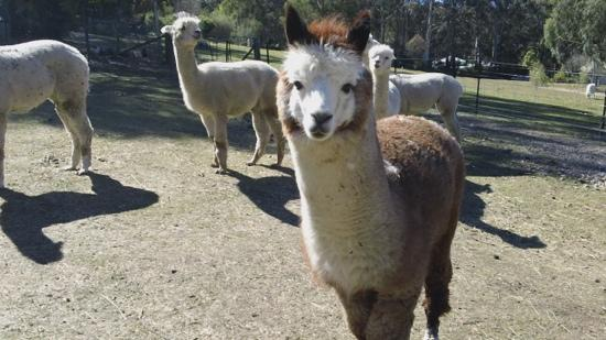 Morvern Valley Guesthouses: The friendly llamas