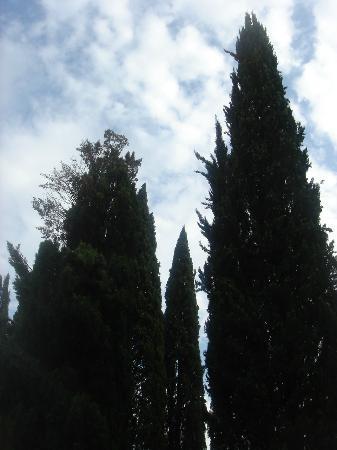 Vignamaggio: Cypresses