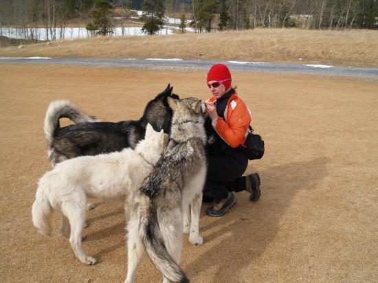 Cochrane, Kanada: Feeding the pack-