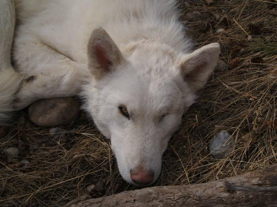 Yamnuska Wolfdog Sanctuary: Seiko resting before finding his forever home