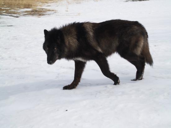 Yamnuska Wolfdog Sanctuary: Beautiful Zeus checking me out