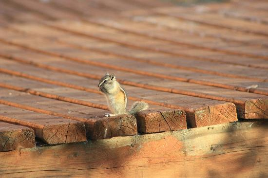 Inn On The Lake: Chipmunk stuffing his face on the boardwalk