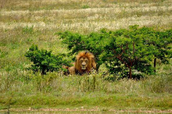 Garden Route Game Lodge: Wild Life - Lions