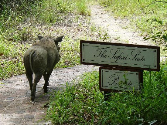 andBeyond Ngala Safari Lodge: Resident visitor