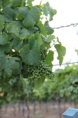 Cedar Creek Cottages: Grape